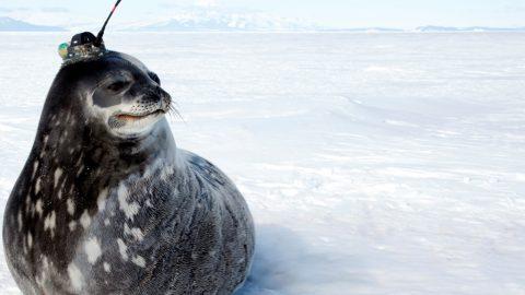 Wie Robben wichtige Klimadaten liefern