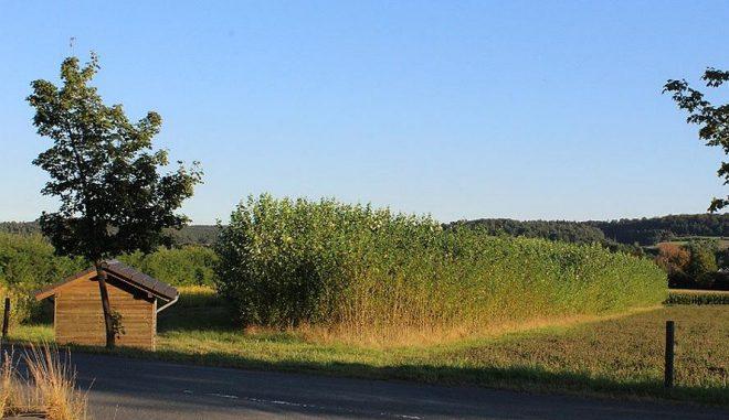 """Kurzumtriebsplantagenbrauchen ein langfristiges Investment und kontinuierliche Abnahme der daraus produzierten Holzhackschnitzel. Diese wiederum haben geringere Schadstoffe als """"normales"""" Brennholz. Foto: UrbanskyKurzumtriebsplantagen, wie hier am Firmengelände von Viessmann, brauchen ein langfristiges Investment und kontinuierliche Abnahme der daraus produzierten Holzhackschnitzel. Diese wiederum haben geringere Schadstoffe als """"normales"""" Brennholz. Foto: Urbansky"""